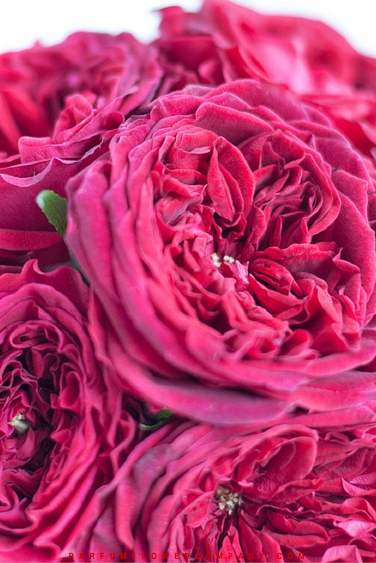 David Austin Wedding Rose Tess 019
