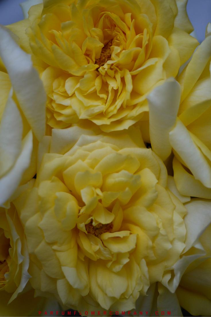 rose toulouse lautrec