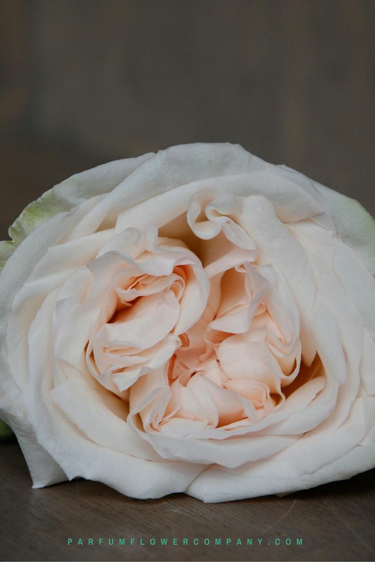 Premium Scented Garden Rose White O Hara