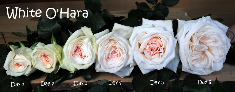 premium scented garden rose white ohara available at wwwparfumflowercompany