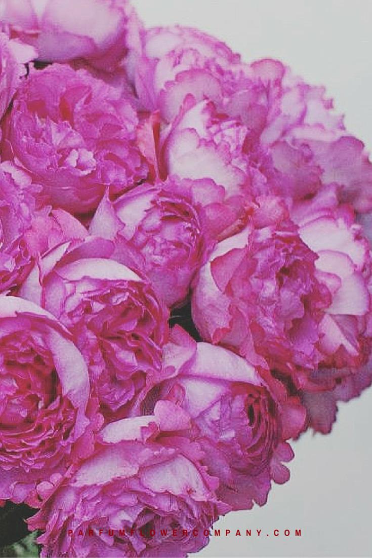Rose Yves Piaget   735 x 1102 png 1199kB
