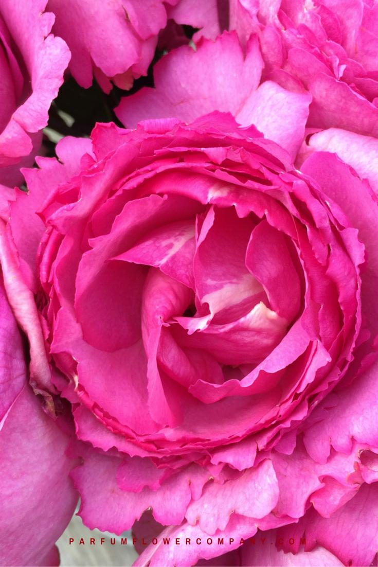 rose yves piaget