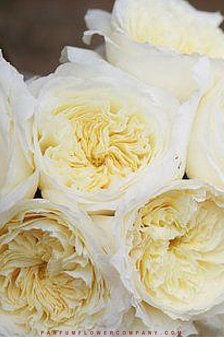 David Austin Wedding Rose Patience 007