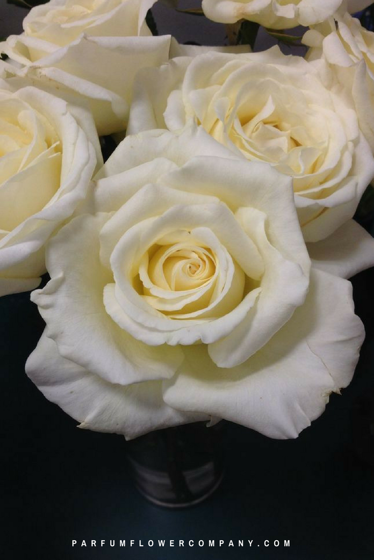 Roses In Garden: Premium Scented Garden Rose Vitality