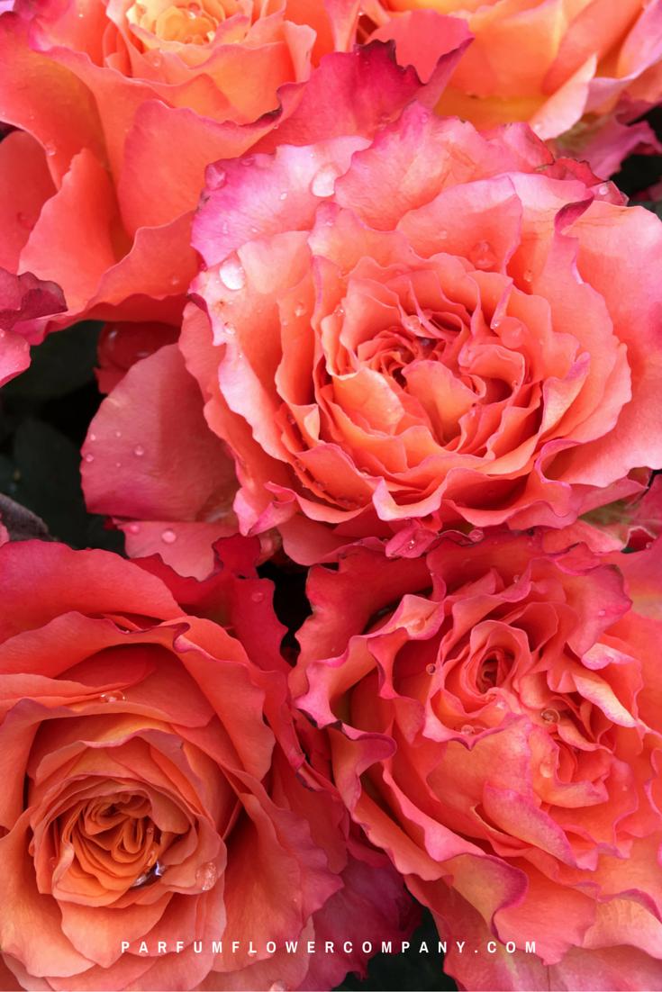 Roses In Garden: Premium Scented Garden Rose Free Spirit