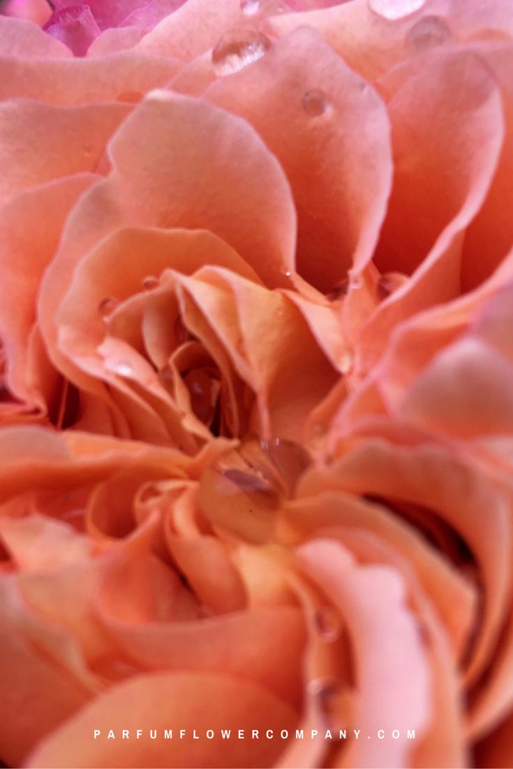 Premium Scented Garden Rose Free Spirit