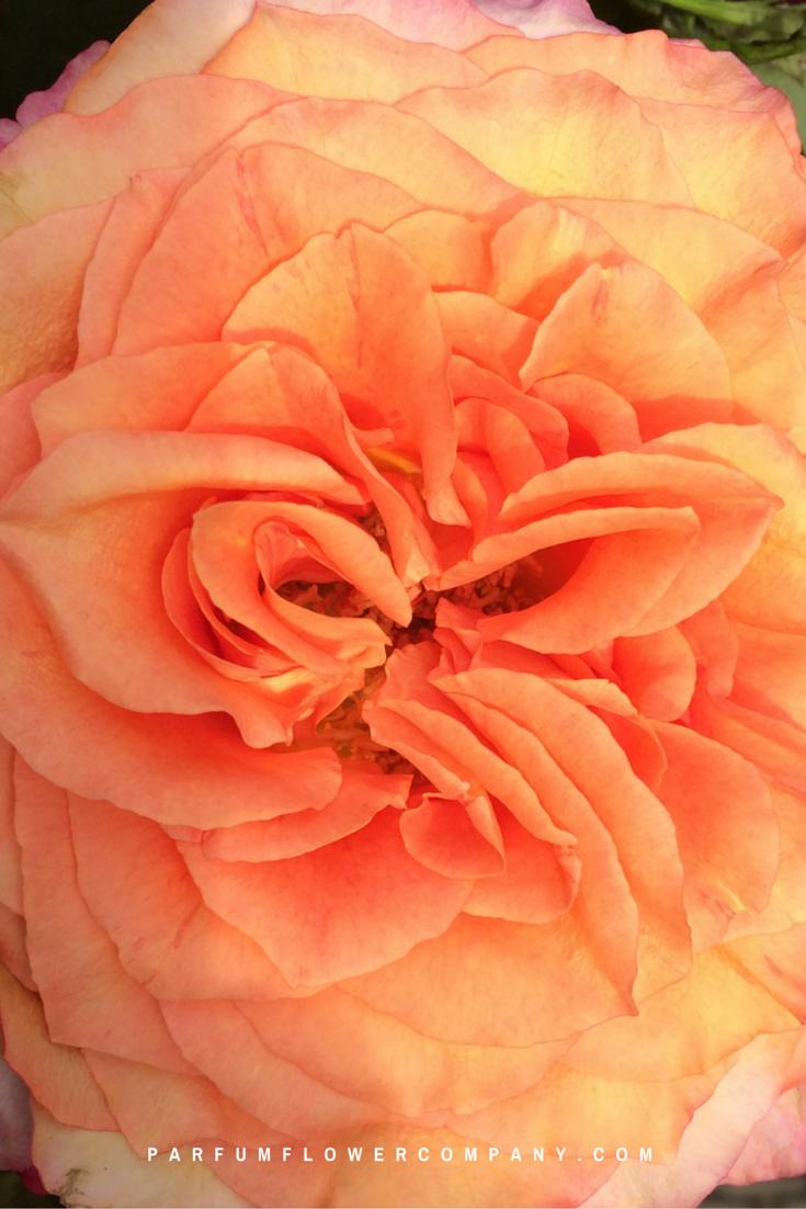 White Ohara Garden Rose