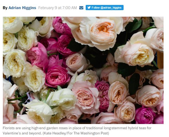 Garden roses for Valentine