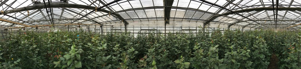 Panoramic view of one of the greenhouses where roses Extase are grown