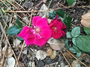 Rose Extase in the Nursery