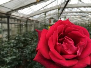 Red rose Extase close-up