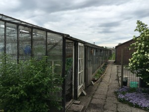 Nursery Zekveld where they grow the red rose Extase