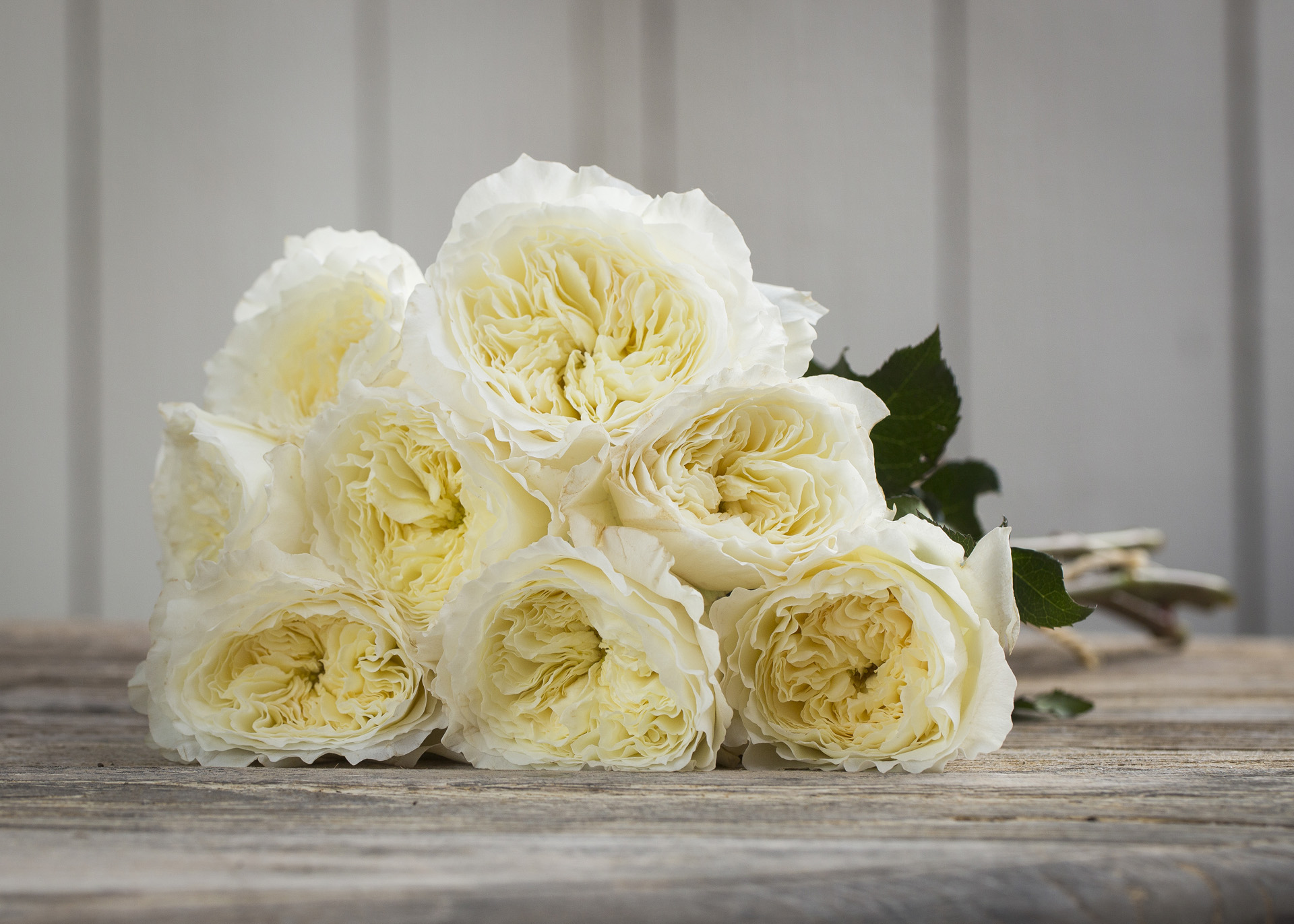 White Patience Garden Rose the top 5 david austin wedding roses - parfum flower company
