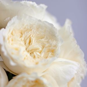 165 small petals packed into each bloom of the david austin wedding rose patience - White Patience Garden Rose
