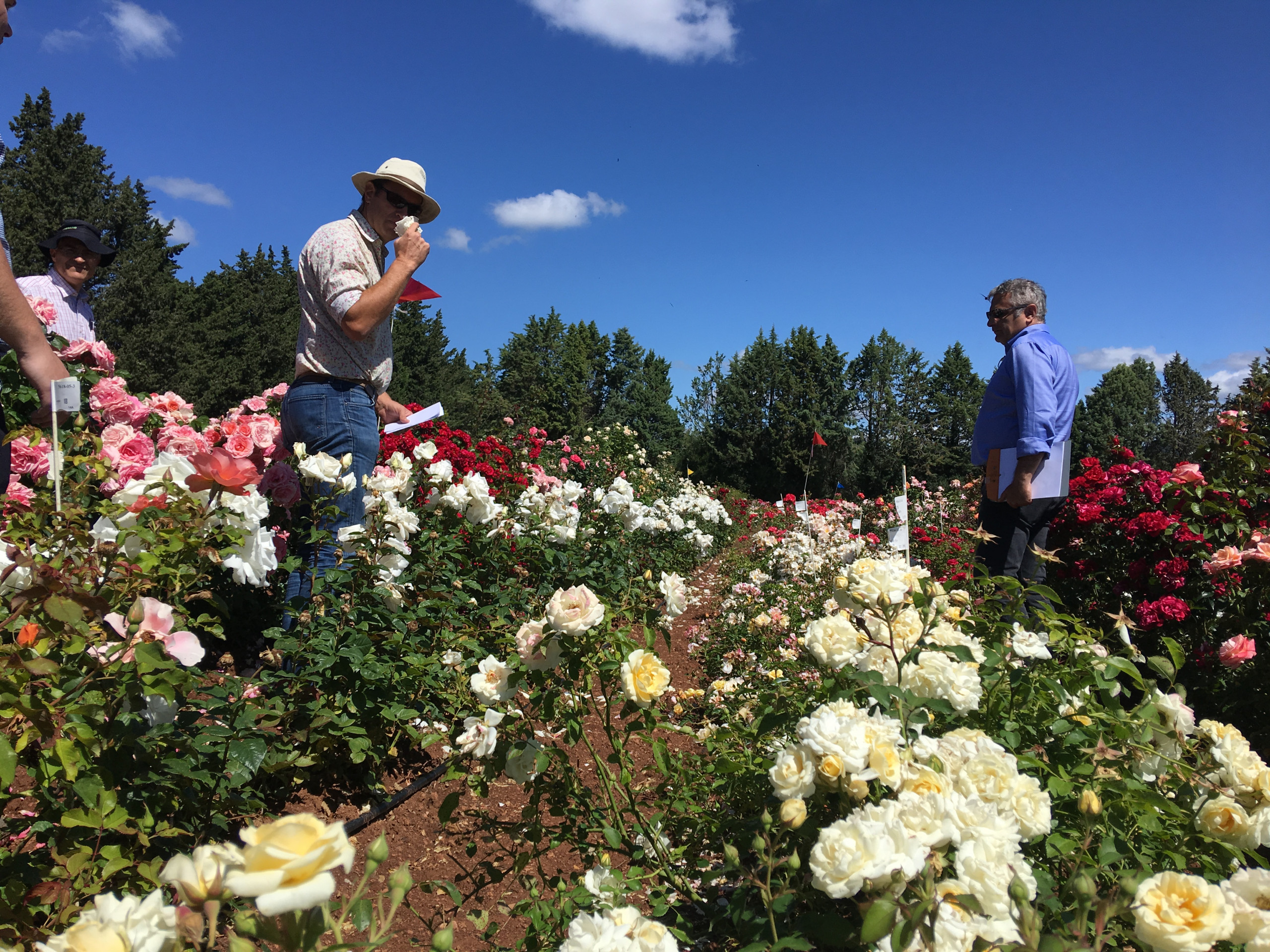 Tim Hobbs smelling the scented roses in the test fields