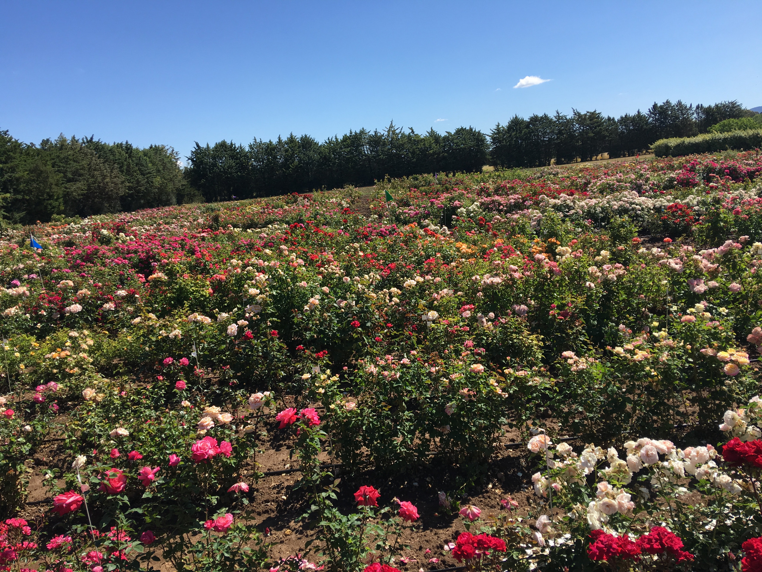 Fields of scented roses at meilland