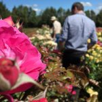 Searching for the perfect scented roses