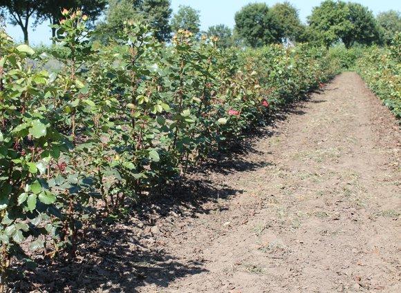 Freiland Spray rose gardens