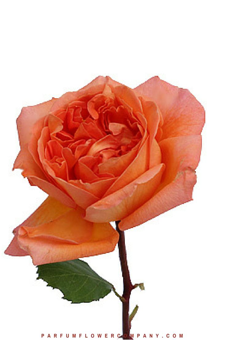 Orange Garden Rose: Meilland Jardin & Parfum Rose. Premium