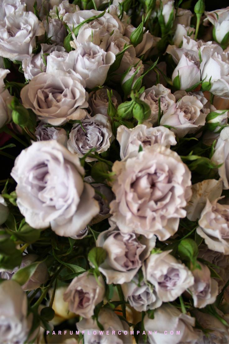 Roses In Garden: Premium Garden Rose Everlasting Lavender