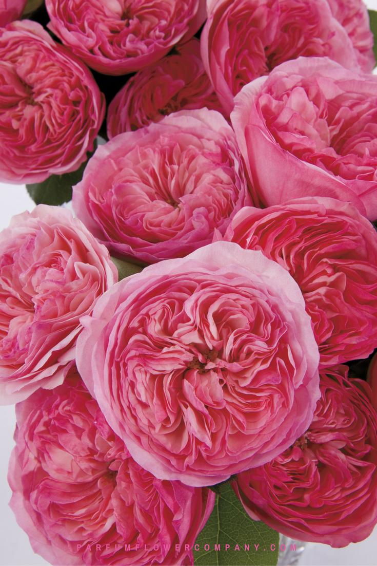 Roses In Garden: Premium Garden Rose Maria Theresia