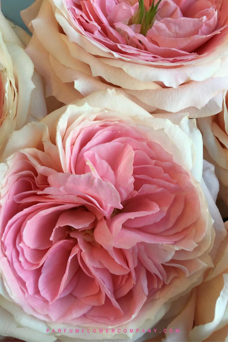 Roses In Garden: Premium Garden Rose Mayra's Bridal Pink