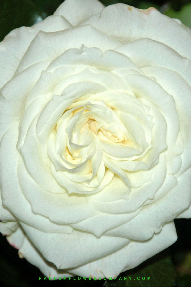 premium garden rose alabaster - White Garden Rose