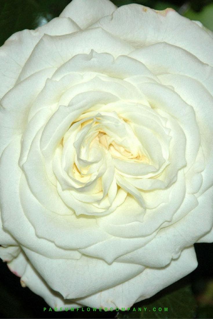 premium garden rose alabaster white garden rose - White Garden Rose
