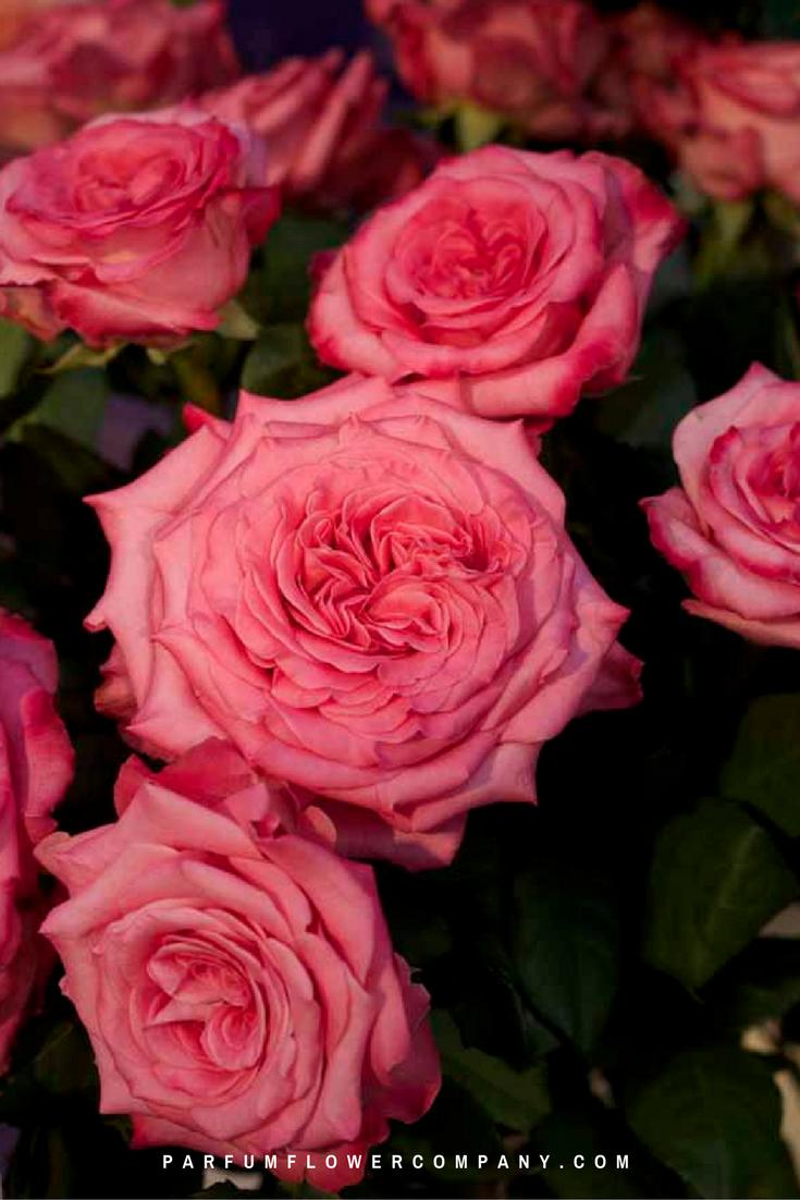 Premium Garden Rose Ashley