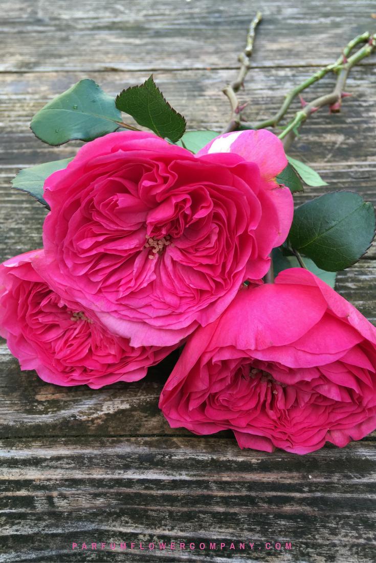 Roses In Garden: Premium Garden Rose Baronesse