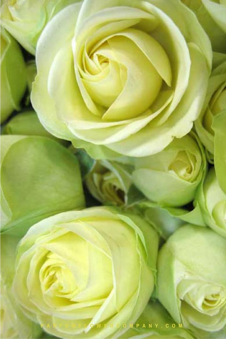 premium garden rose creamy eden