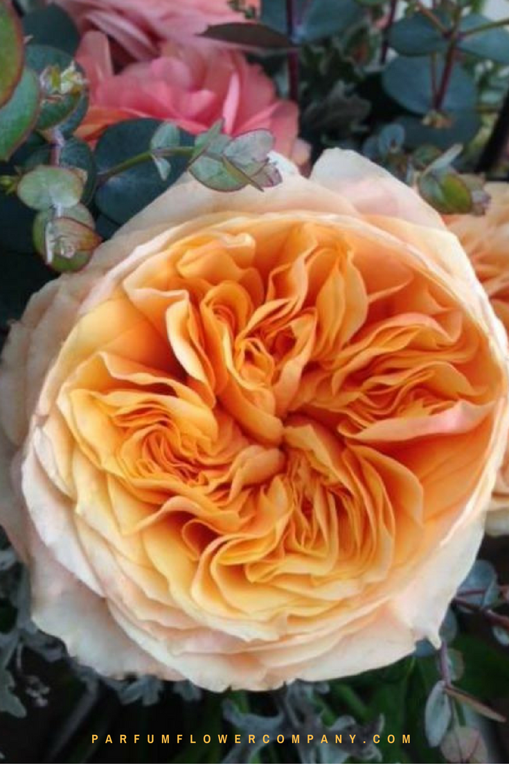 Premium Garden Rose Lady Carolina Parfum Flower Company