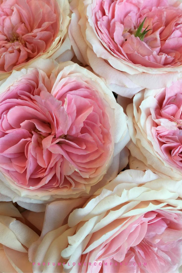 premium garden rose mayra s bridal pink