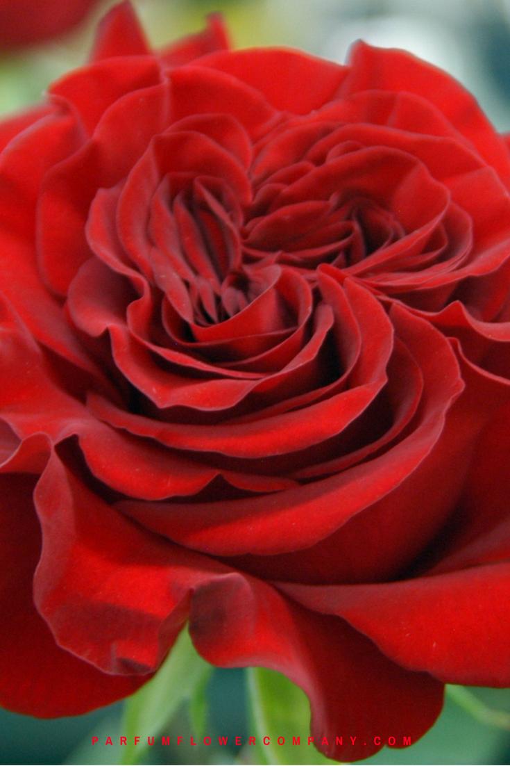 Premium Garden Rose Hearts