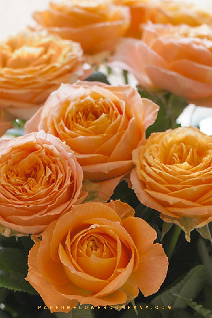 Orange Garden Rose: Premium Garden Rose Orange Romantica