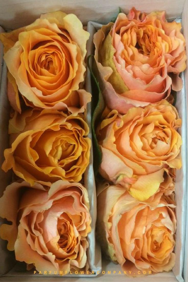 Orange Garden Rose: Premium Garden Rose Caraluna