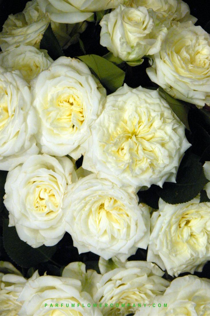Roses In Garden: Premium Garden Rose Alabaster
