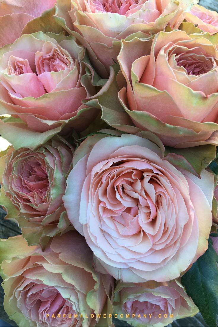 Roses In Garden: Premium Garden Rose Kahala