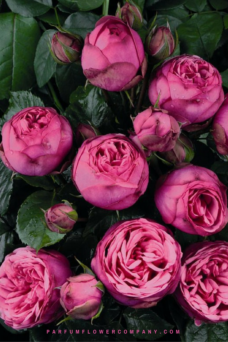 premium garden rose pink piano