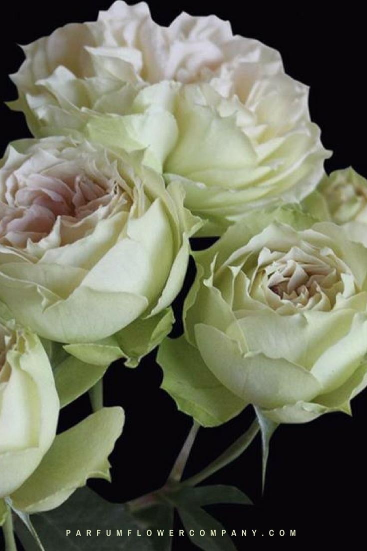 premium garden rose blanchette - White Garden Rose