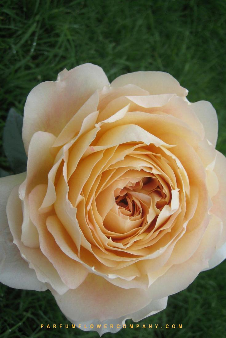 premium garden rose caramel antike