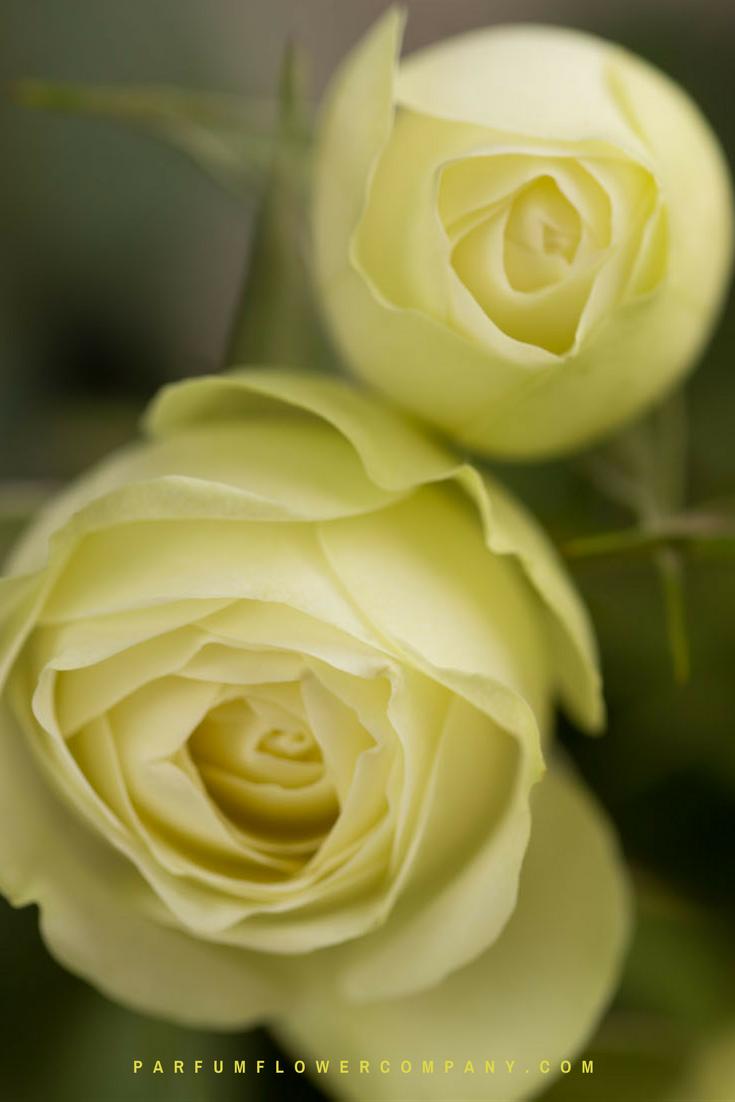 Roses In Garden: Premium Garden Rose Creamy Eden