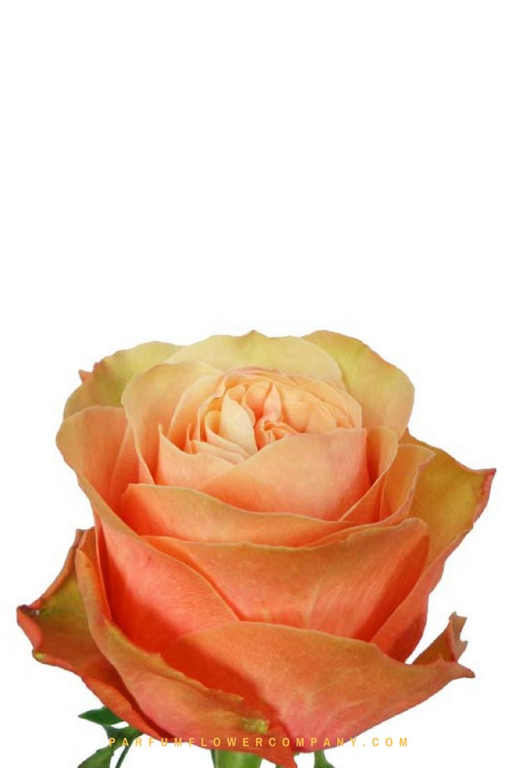 Premium Garden Rose Kahala