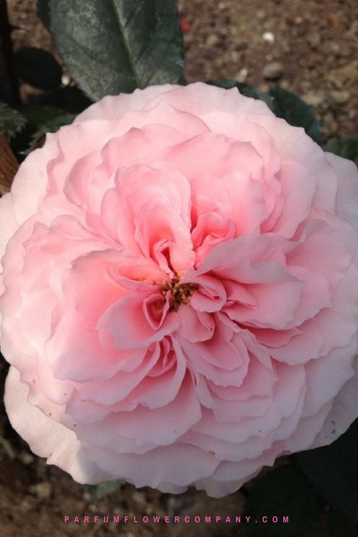 Roses In Garden: Premium Garden Rose Mayra's Rose