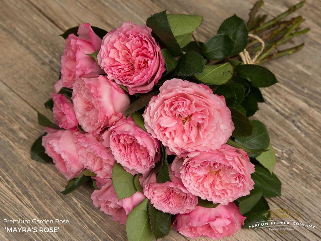 premium garden rose mayras rose - Garden Rose