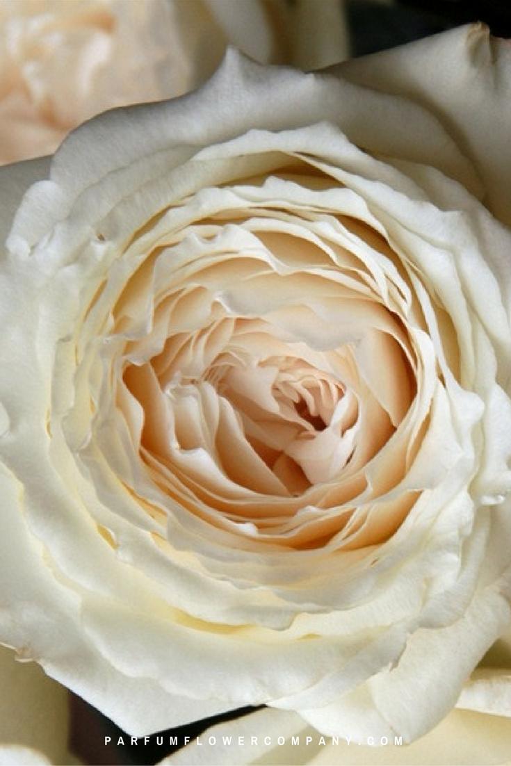 Purple Hearts Wedding Premium Garden Rose Pr...
