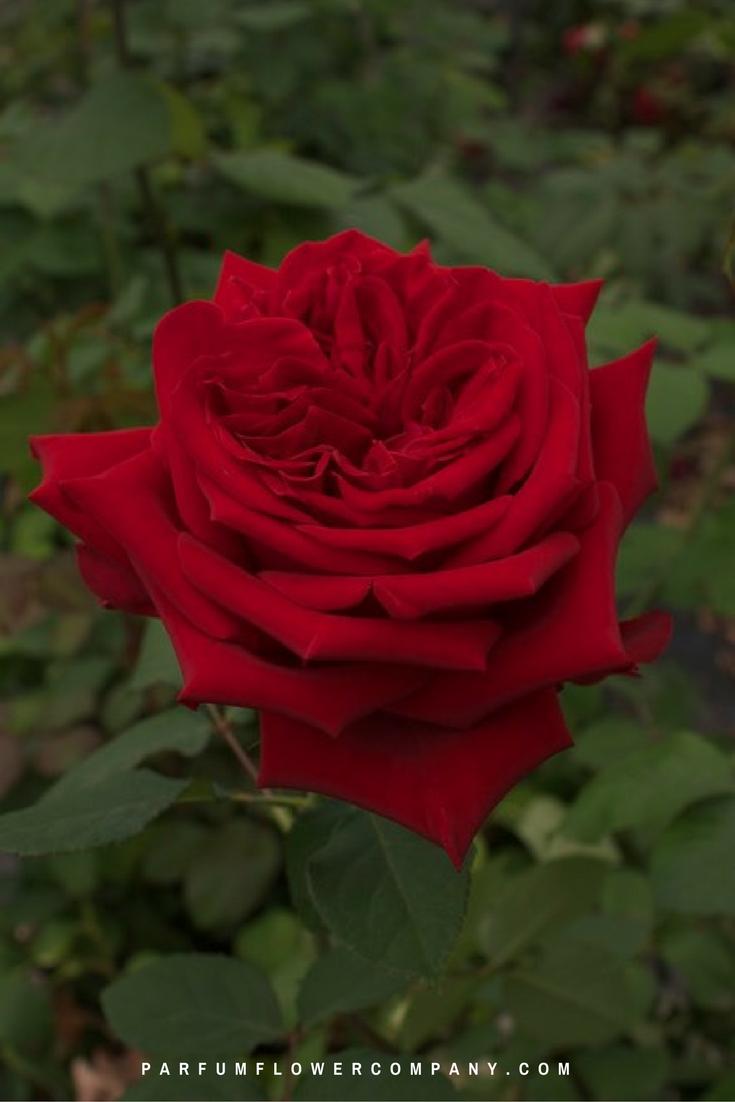 Roses In Garden: Premium Garden Rose Red Elegance