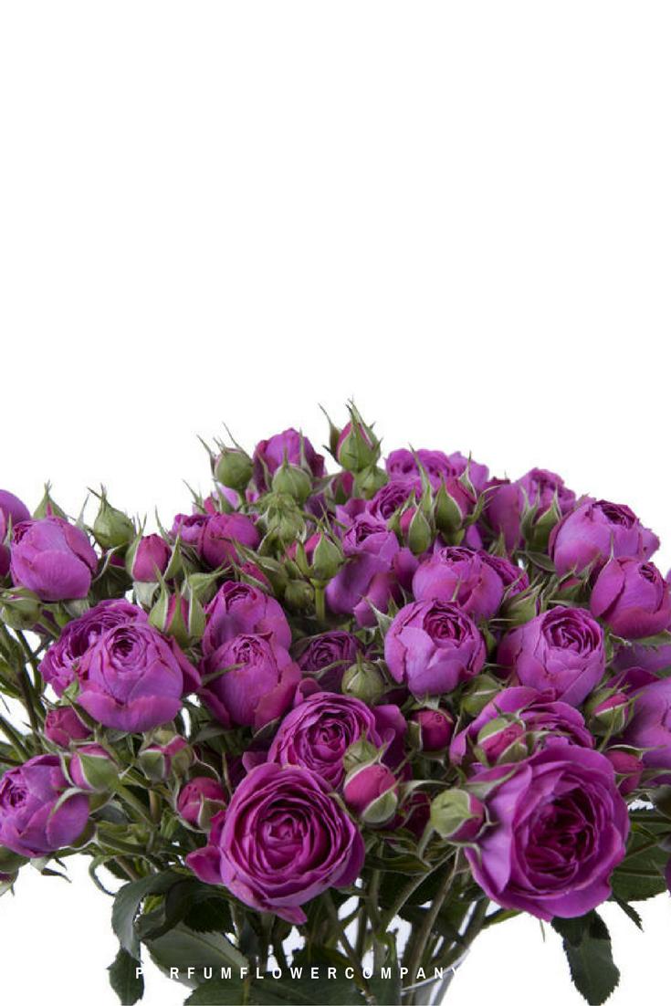 Roses In Garden: Premium Garden Rose Purple Tambourine