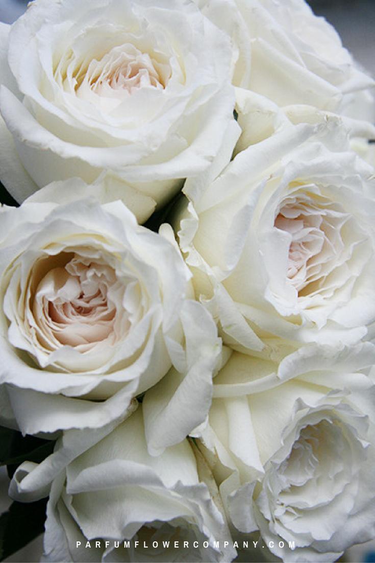 premium garden rose princess miyuki - White Garden Rose
