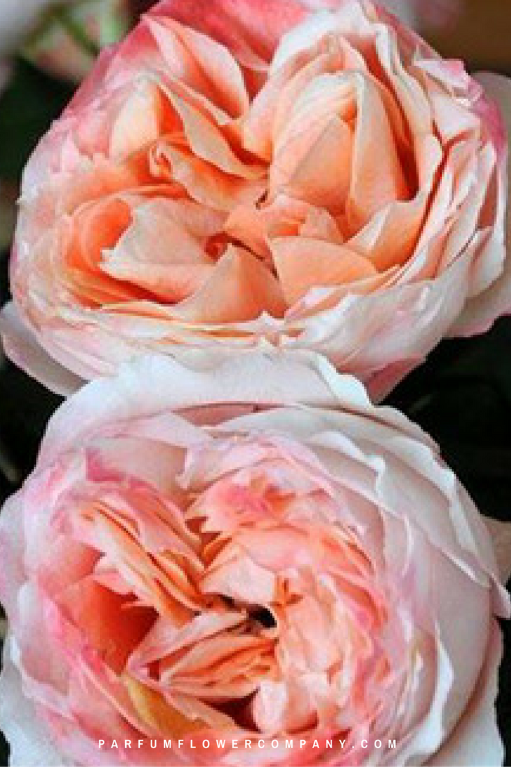 premium garden rose princess sakura - Peach Garden Rose